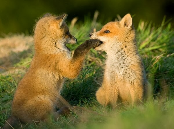 Funny animals of the week - 21 February 2014 (40 pics), baby fox bites other baby fox paw