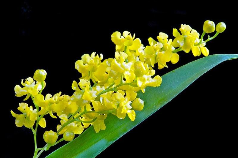 Lan Vu Nu - phong lan Oncidium