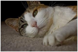 علامات انسداد الأمعاء في القطط