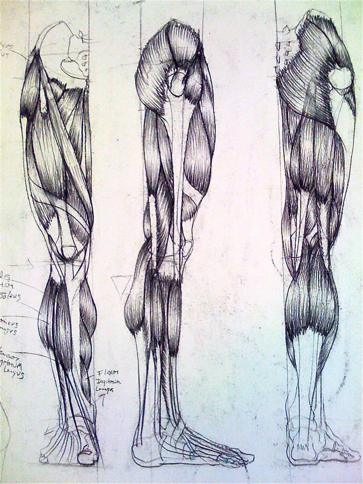 leg muscles drawing - photo #11