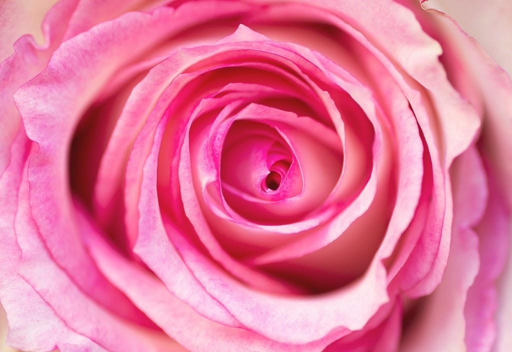 Rosa esperans