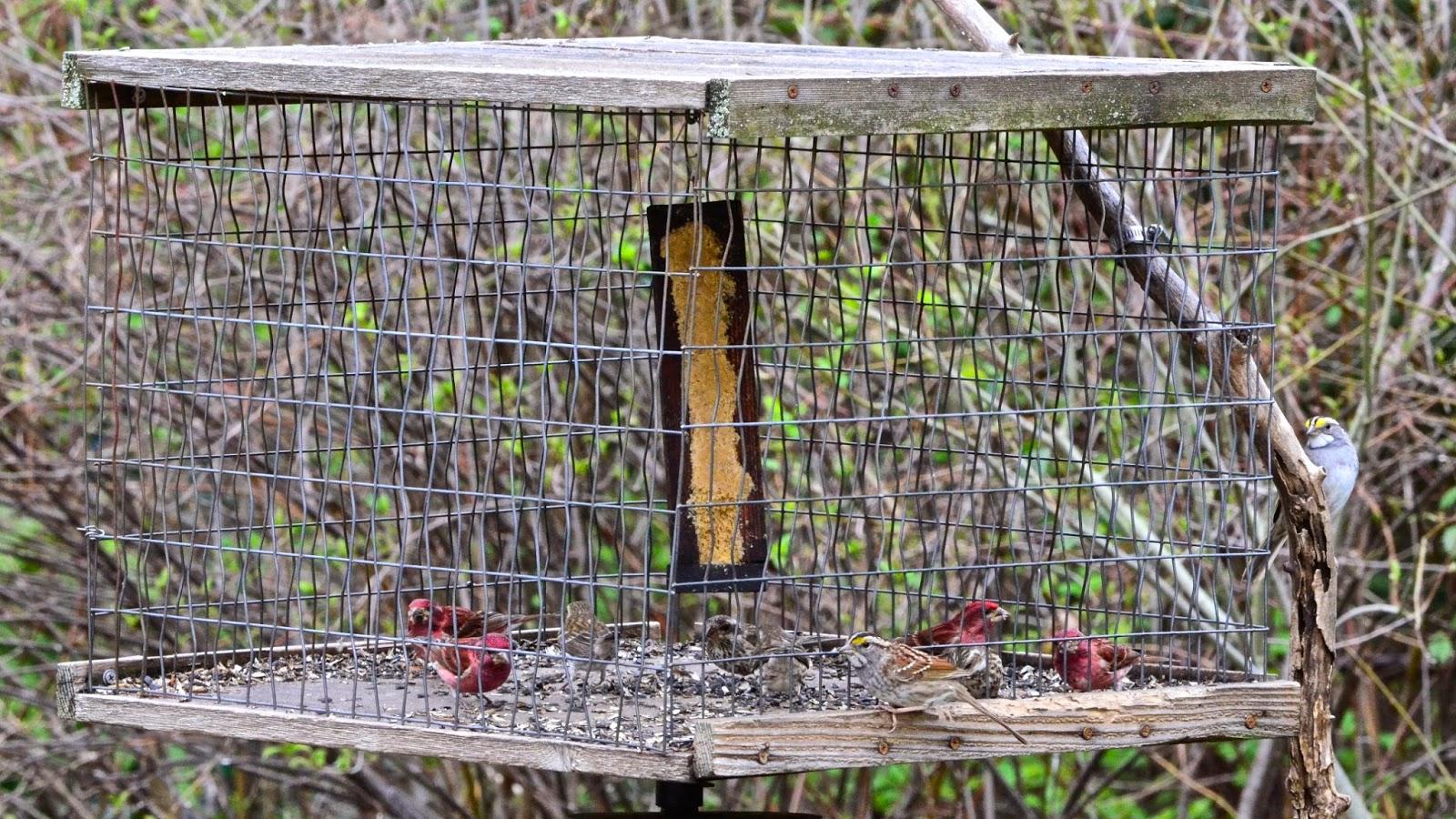 youtube feeder watch pine siskins feeding feeders at thistle seed