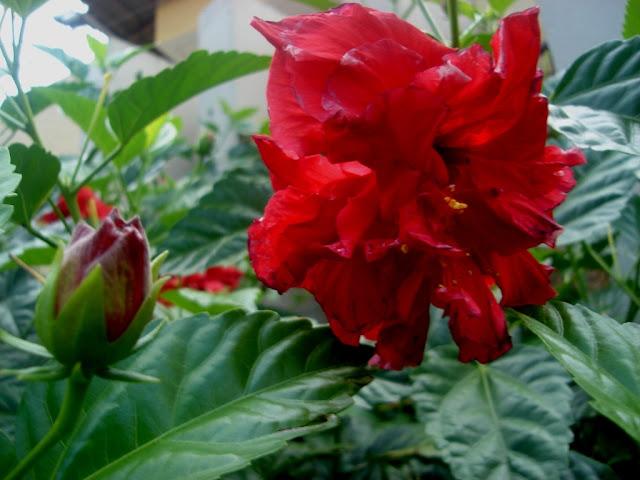 Hisbiscus vermelho dobrado