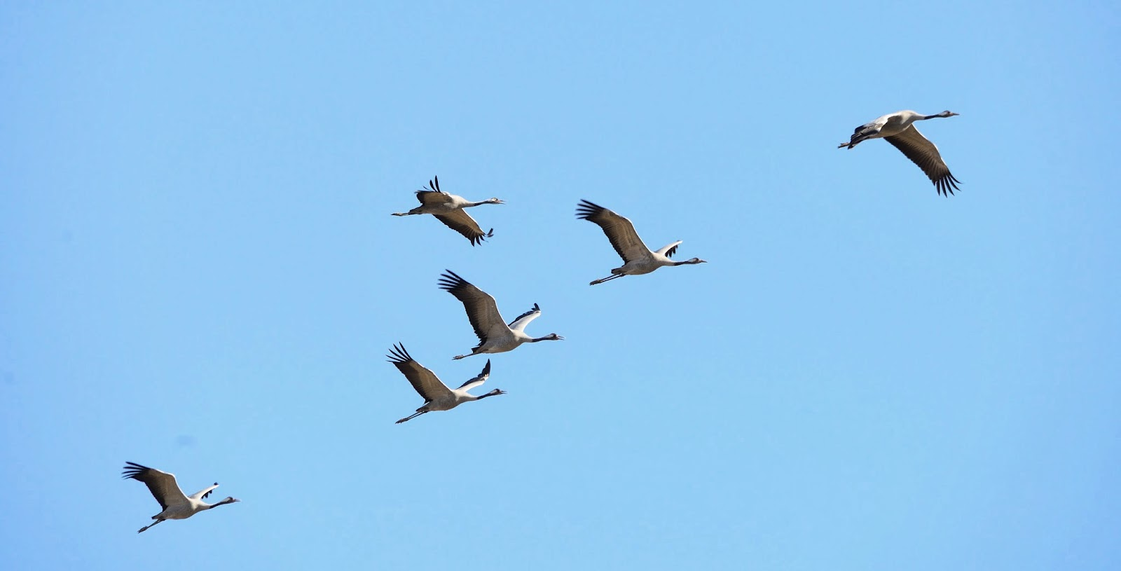 Excursión SEO/BirdLife a ZEPA del Alto Guadiato. Grullas