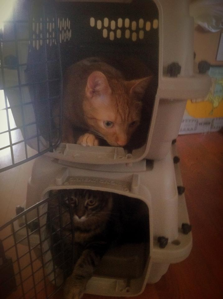 image of cats in carriers