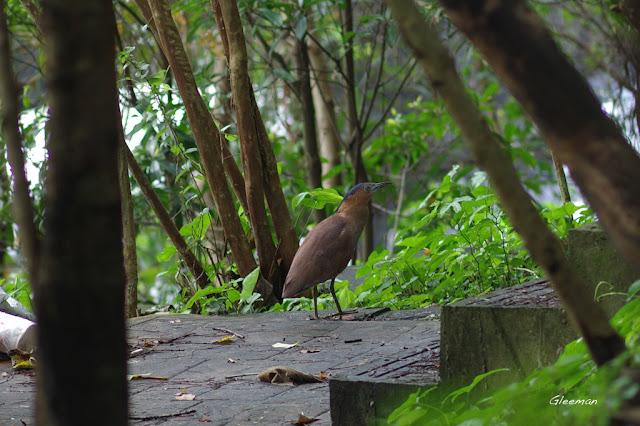 雞南山散步,黑冠麻鷺