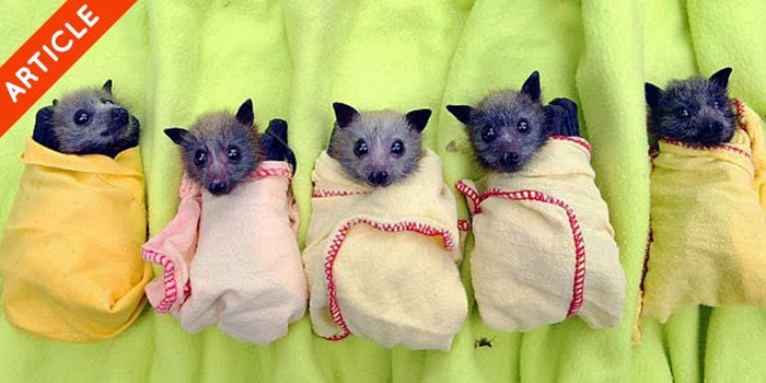 bayi kelelawar