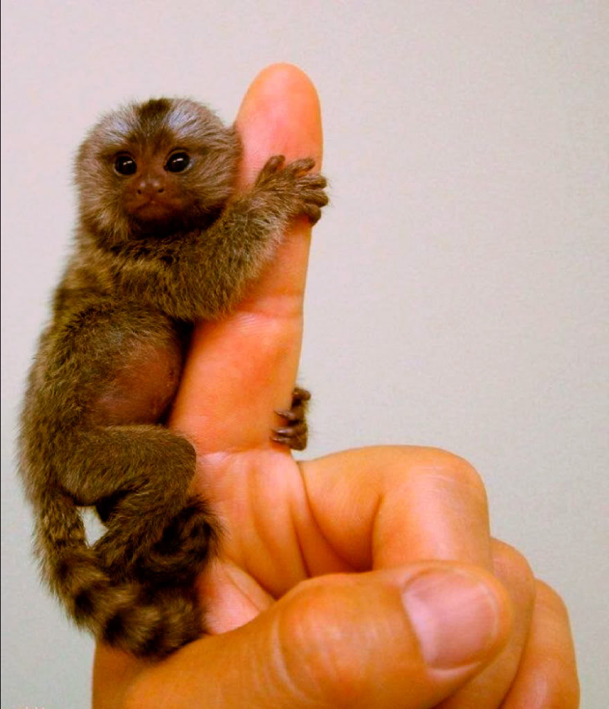 Orange Finger Monkeys