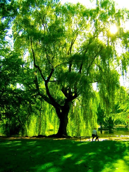Anna 39 S Art Blog Wonders Of The Weeping Willow