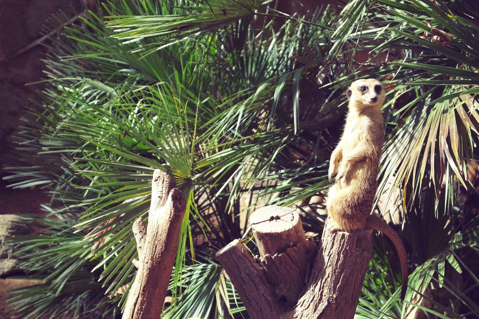barcelona zoo meerkat