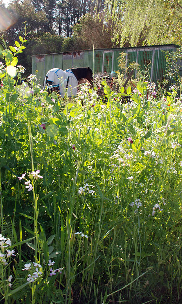 autumn green manure in flower