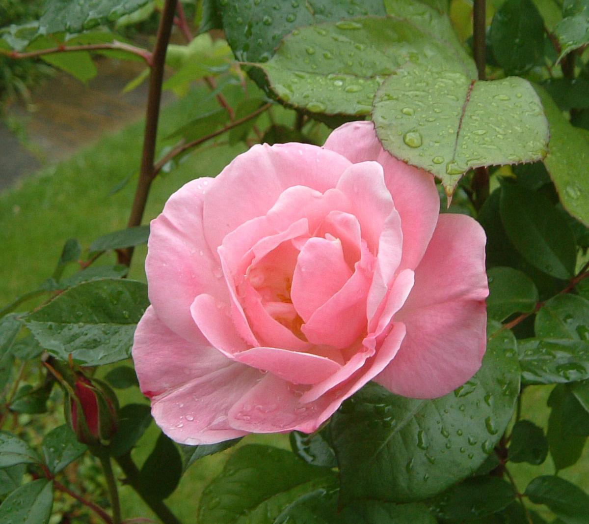 http://4.bp.blogspot.com/-DmIy4tZ7iS0/T76lW3R7KdI/AAAAAAAAA6g/0kdninMf9W4/s1600/pink-rose-21.jpg