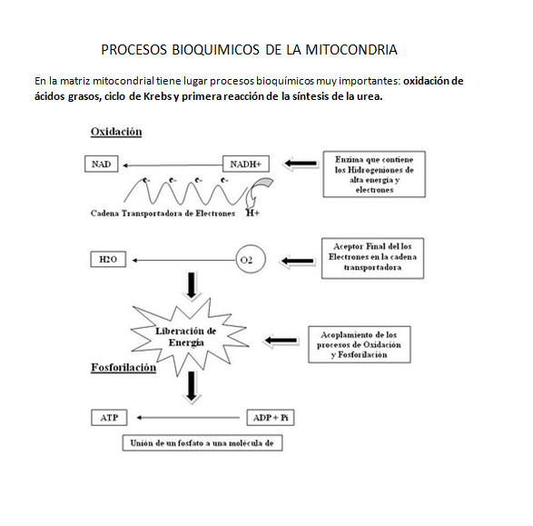 PROCESOS BIOQUIMICOS DE LA MITOCONDRIA | BIOLOGIA CELULAR