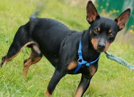 I Pincher Sono Cani Di Taglia Mini Dallu0027aspetto Molto Elegante Ed  Aggraziato E Dal Carattere Deciso. Il Cane Pincher è Però Spesso Oggetto Di  ...