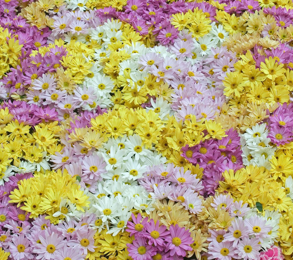 Flowers For Flower Lovers.: Daisy Flowers Desktop Wallpapers