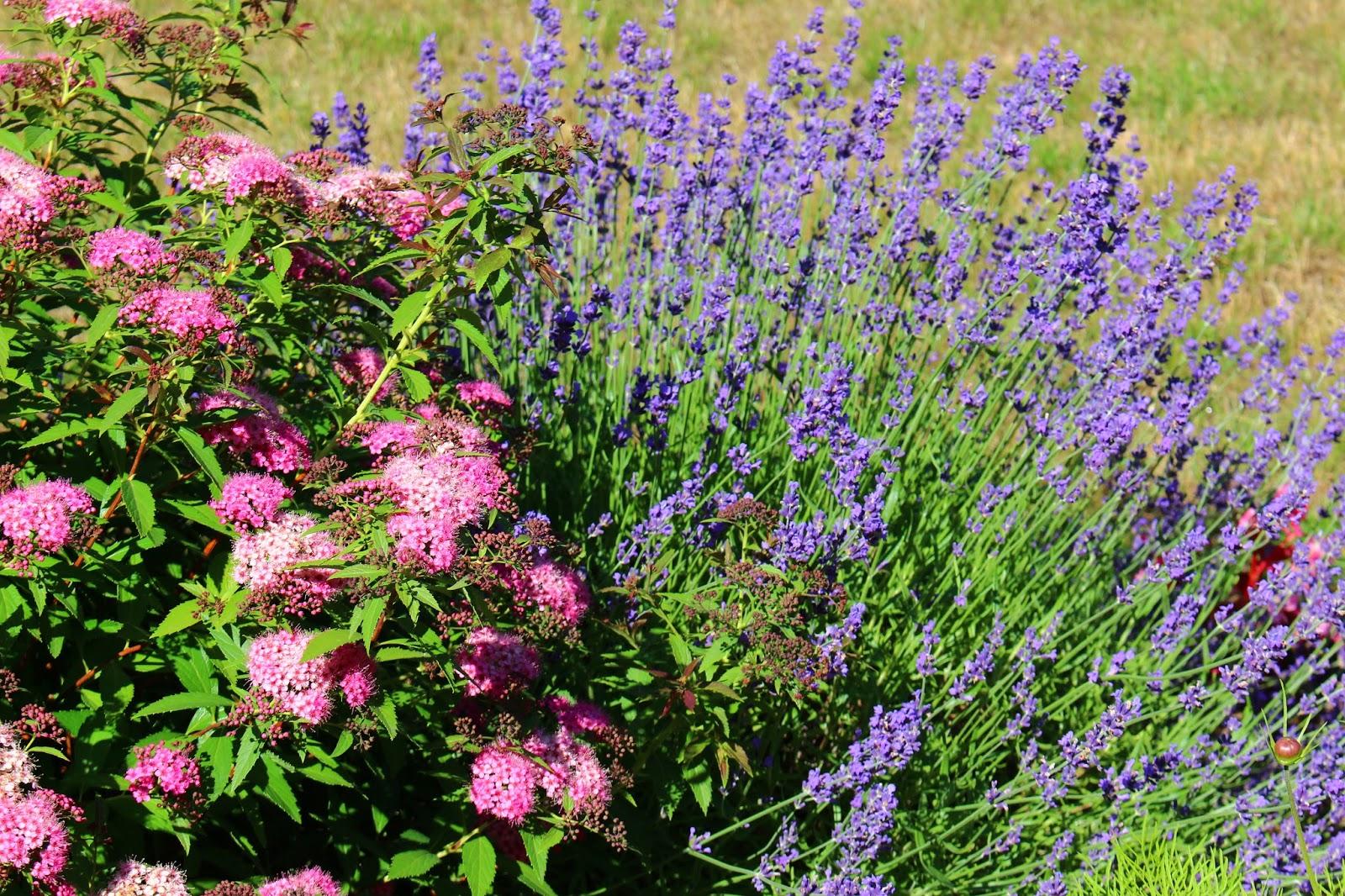 Roses du jardin ch neland spiraea japonica shirobana - Quand planter la lavande ...