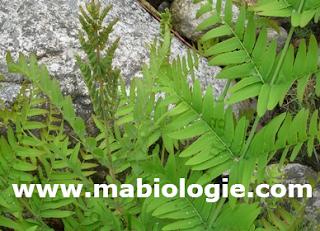 Les thallophytes