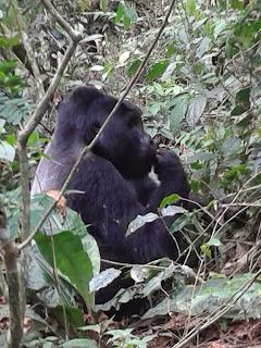 gorillageluk - Oeganda - De tropische wouden van Centraal-Afrika vormen idealiter gesproken een uitermate geschikte habitat voor het gorillageluk van de berggorilla's van Oeganda.