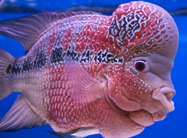 Flowerhorn The Hybrid Cichlids: Flower Horn Fish