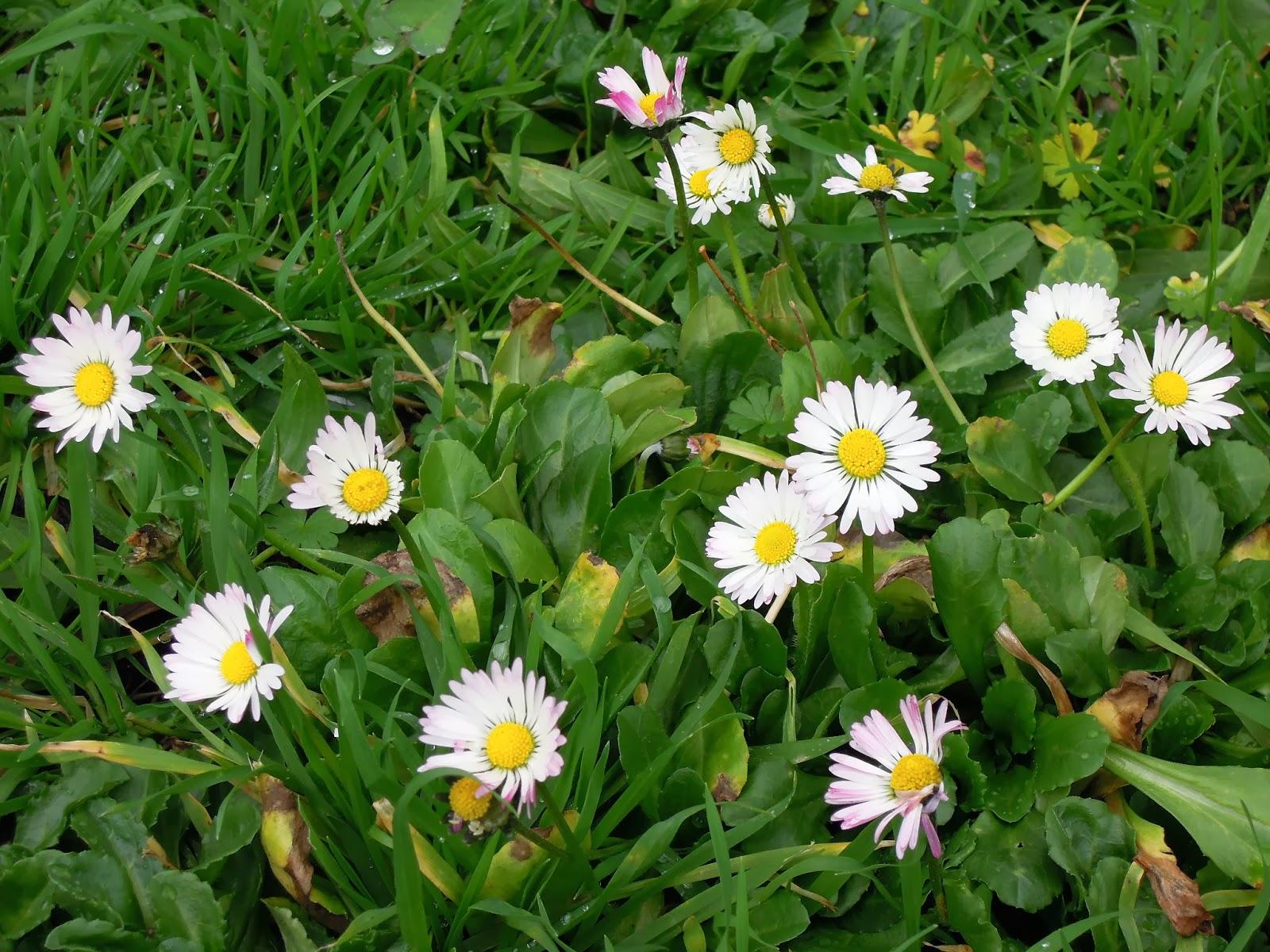 Polne kwiatki w styczniu - stokrotki