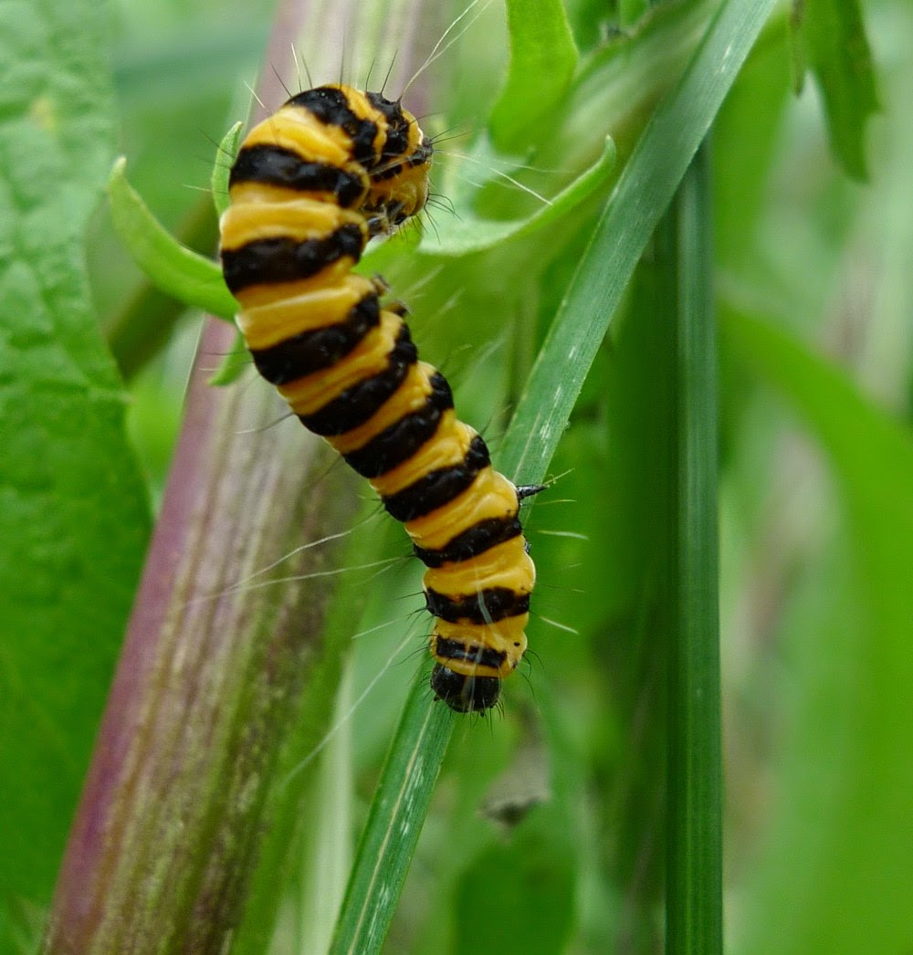 Cinnabar caterpillar Brockley