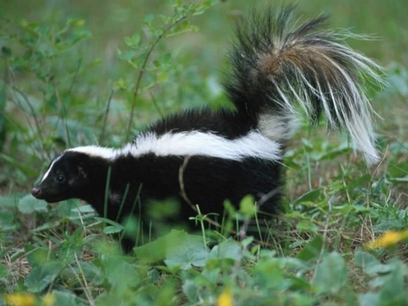 pixie dust healing animal signs skunk