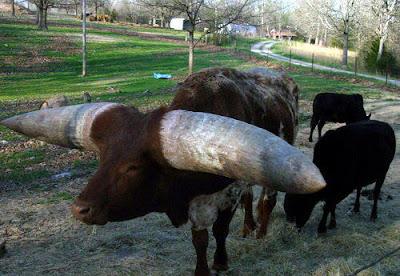 animales-raros-toro-lurcho-cuernos-gigantes