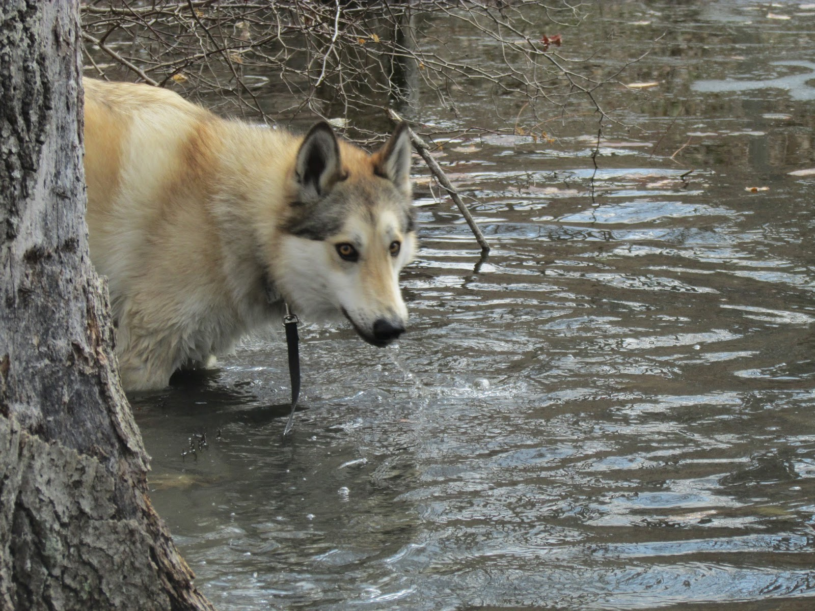 wolfdog, wolf husky mix
