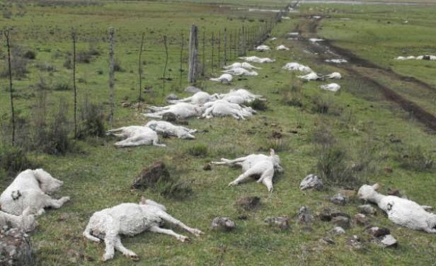 ¤ Uruguay: 30 000 moutons tués par un gel éclair ! Chute de 30 degrés Celsius en quelques minutes !!! dans Bizarreries météo moutons