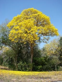 Árbol Araguaney, orgulloso floreces. Poesía corta para día del árbol en la escuela, comunidad. Araguaney, árbol nacional de Venezuela. Mayo. Día del árbol, matas, plantas de Venezuela.