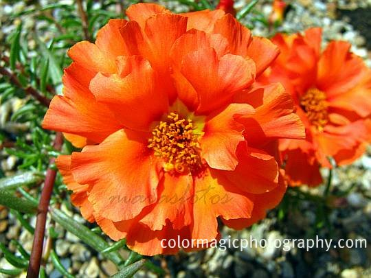 Coral red moss rose-macro photo