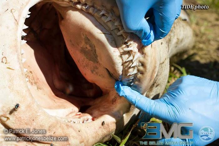 http://www.patrickjonesbelize.com/2014/08/26/bull-shark-dead-joe-taylor-creek-toledo/
