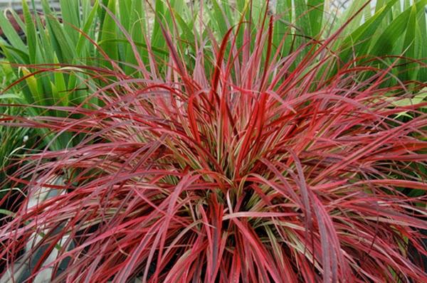 Plantwerkz Red Fountain Grass Pennisetum Rubrum