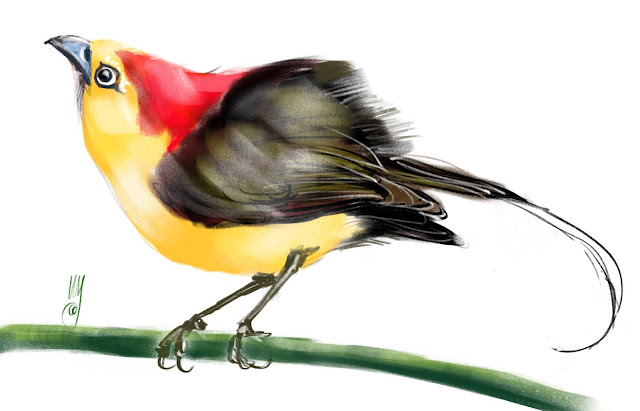 Wire-tailed manakin a bird painting by Artmagenta
