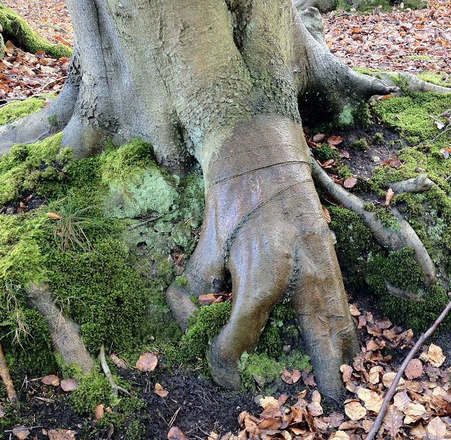 Beech roots like a hand groping into the ground.  Toys Hill, 3 March 2012.