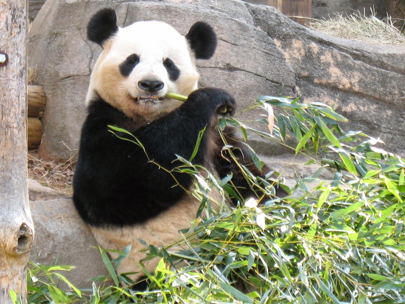 EXTINCIONS.O.S: OSO PANDA