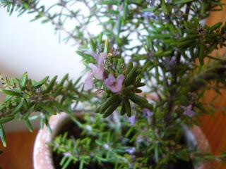 planta de romero en maceta