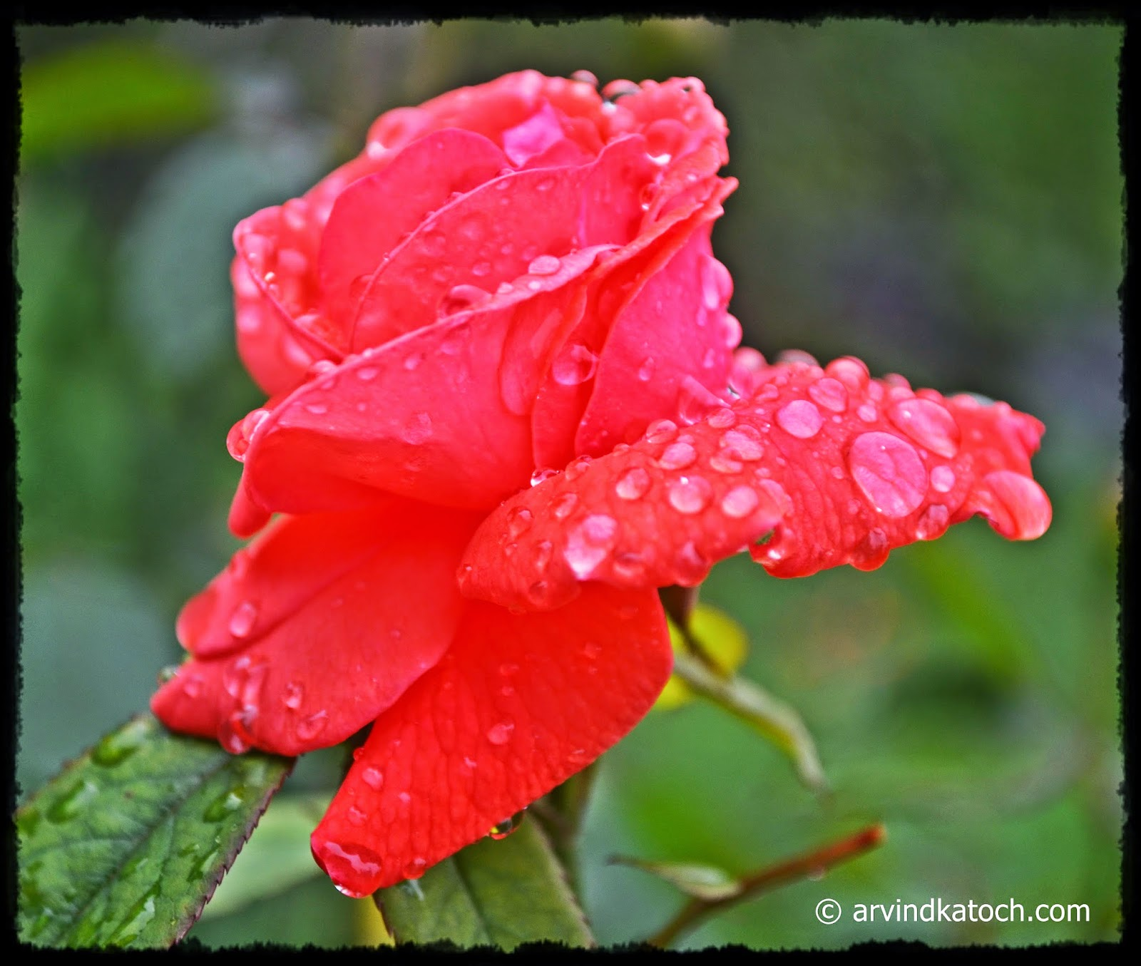 Red Rose, Water Droplets, flowers
