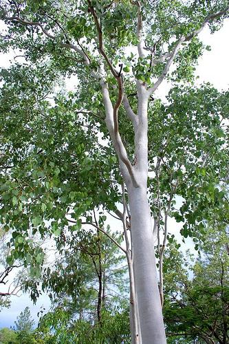 Planting Under Eucalyptus Trees : Guava jambuan tribe genus eucalyptus species platyphylla