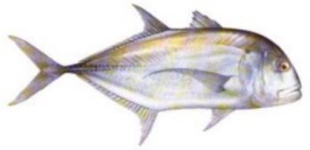 pernahkah anda berdebat tentang ikan yang didapat adalah ikan kuwe