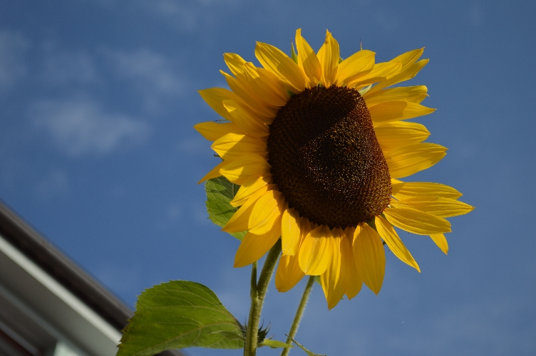sunflower, quaintrelle, georgiana, quaint, flower, plant, yellow