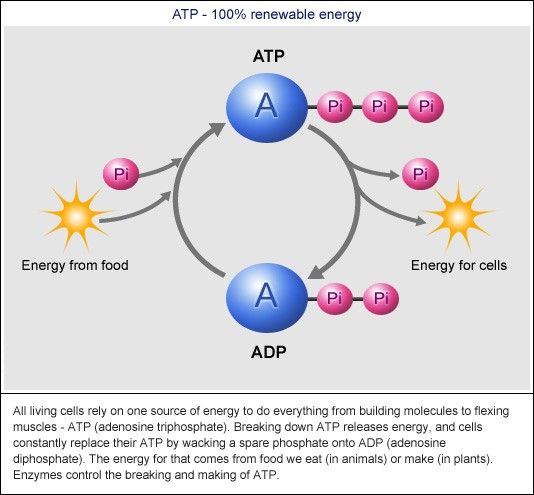 breakdown and resynthesis of atp