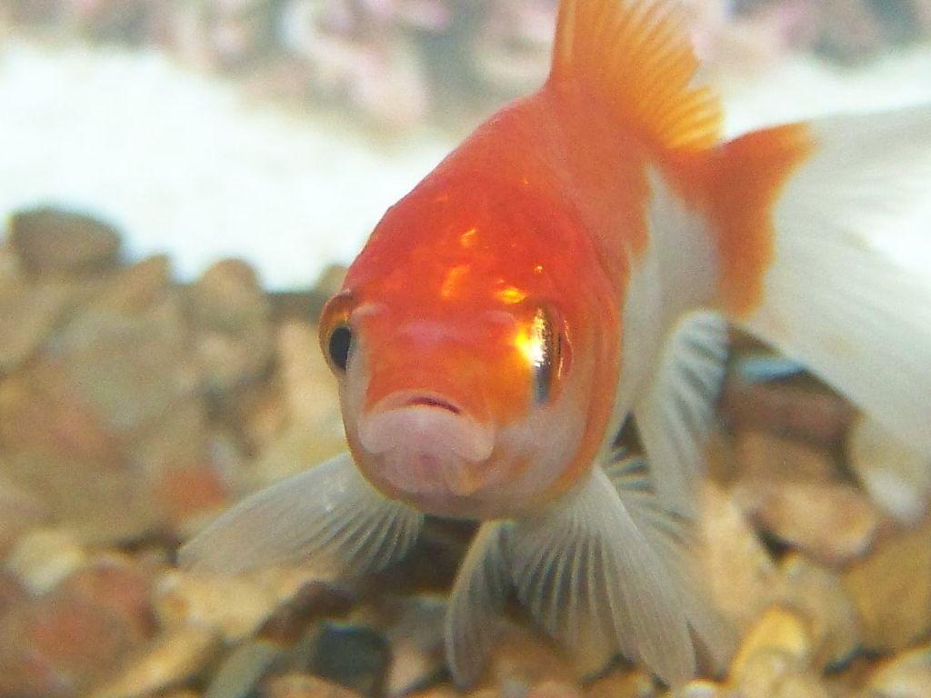 Aquarium fish pictures for Pictures of white fish