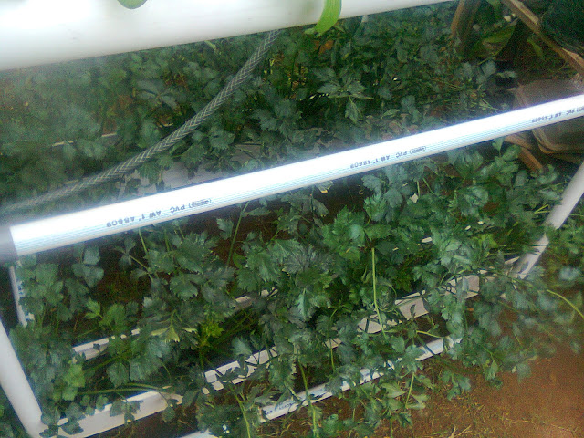 Sledri Hidroponik yang Subur-Subur