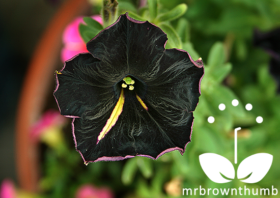 Petunia 'Phantom' Petunia 'Black Cat'