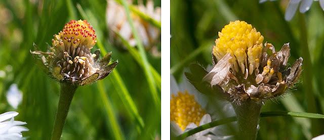 daisy disc florets