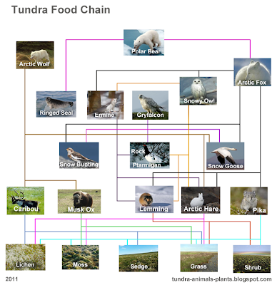 tundra food web chain animals