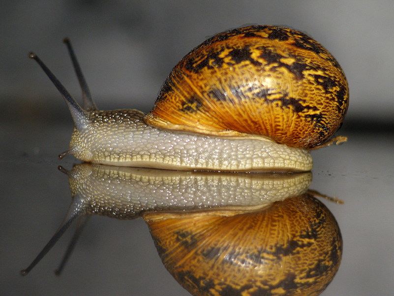 foto caracol marino: