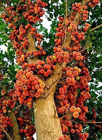 Buah-buahan tempatan yang jarang dilihat. Perlu dikenali kerana ianya menarik dan unik