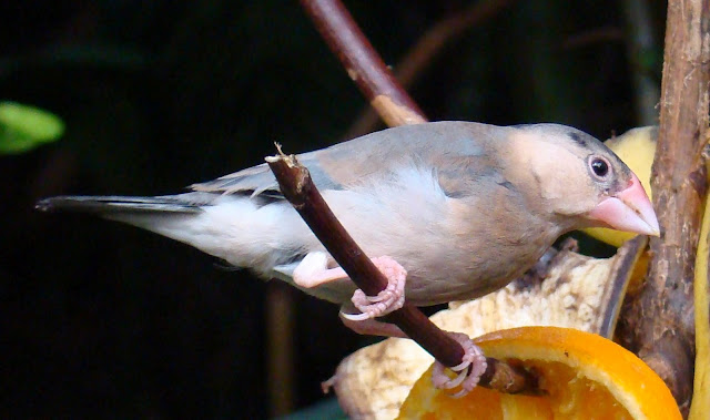 Paignton_zoo_Java_sparrow